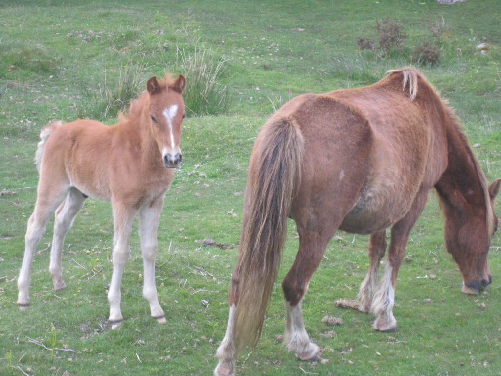 Wild Ponies Dartmoor